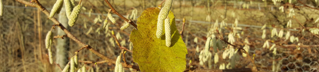 early hazel catkins